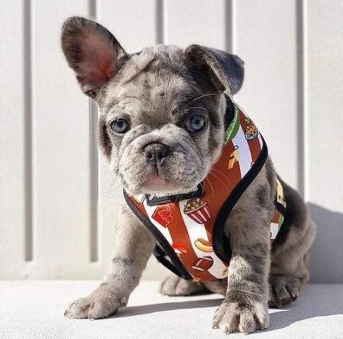 French Bulldog Champion Reversible Harness
