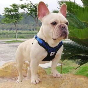 frnech bulldog sport harness